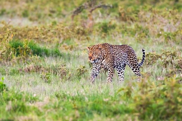 Gato muito grande. leopardo africano, quênia