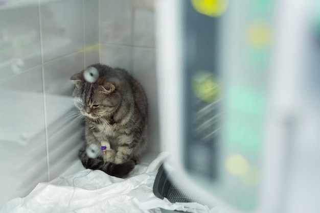 Gato na gaiola da uti em clínica veterinária sob gotejamento
