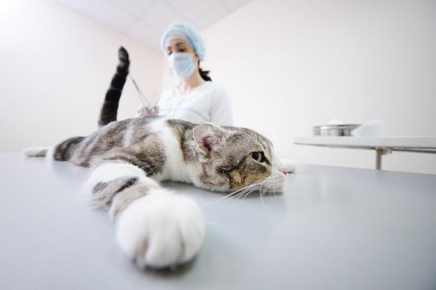 Gato na mesa de operação