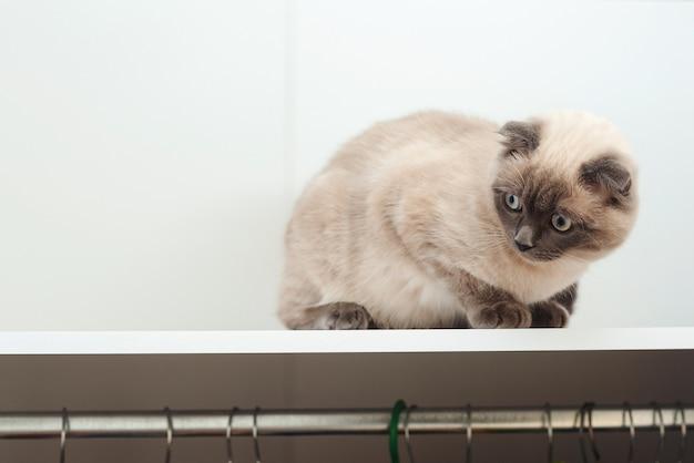 Gato no armário. animal de estimação, estilo de vida. gato escocês escondido no guarda-roupa.