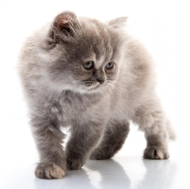 Gato no fundo branco