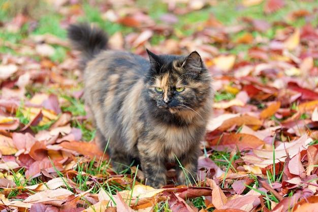 Gato no parque outono. gatinho da concha de tartaruga que anda nas folhas caídas coloridas exteriores.