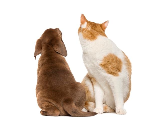 Gato olhando para trás e para trás de um filhote de labrador retriever olhando para cima na frente de uma parede branca
