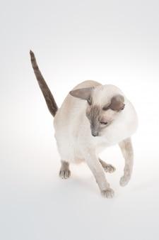 Gato oriental pulando em um branco