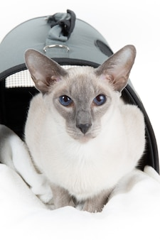 Gato oriental sem pêlo bonito em um portador de gato