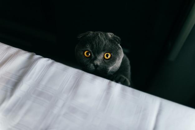 Gato peludo cinzento britânico