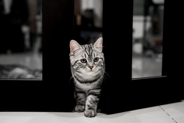Gato pequeno bonito american shorthair. e pet feed para casa.
