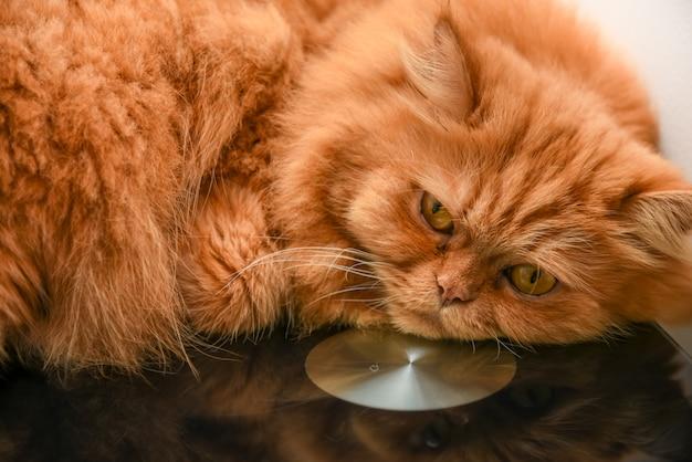 Gato persa bonito