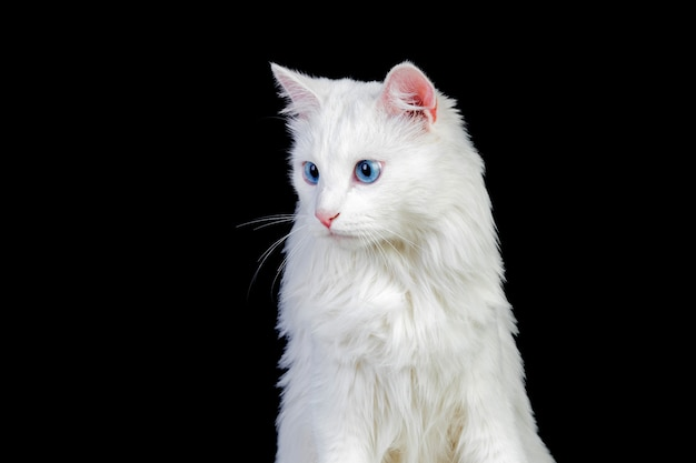 Gato persa branco adorável