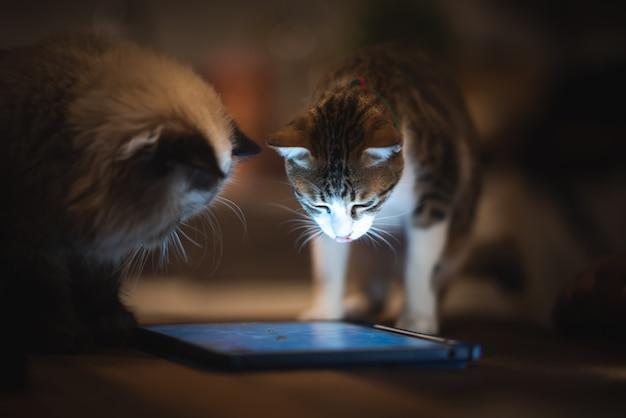 Gato persa do himalaia jogando tablet, estilo de vida em casa com animal de estimação