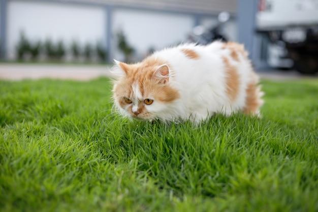 Gato persa fofo caminhando cheirando grama