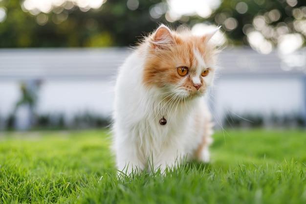 Gato persa fofo caminhando em um campo de grama verde