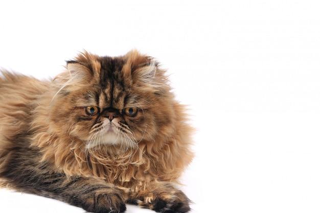Gato persa isolado no fundo branco