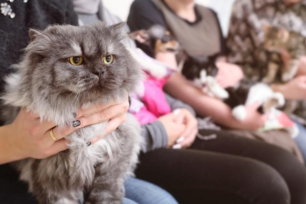 Gato persa nas mãos do proprietário na fila para exame na clínica veterinária