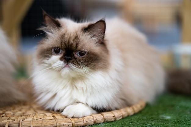 Gato persa olhando bonito