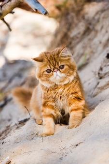 Gato persa vermelho caminhando na praia