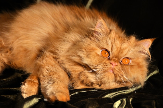 Gato persa vermelho fofo dormindo no sofá