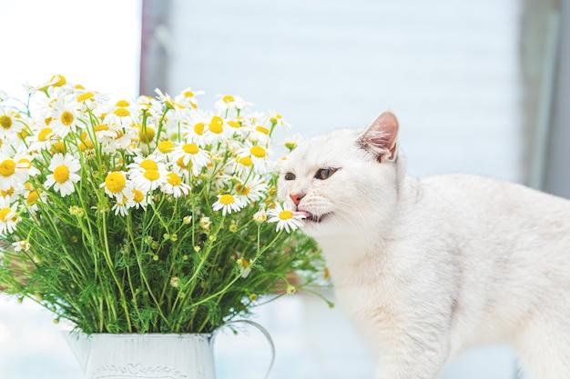 Gato prateado de pelo curto britânico com um buquê de camomila. conceito de verão e férias.