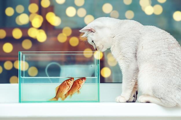 Gato prateado de pêlo curto britânico observando peixes dourados em um aquário.