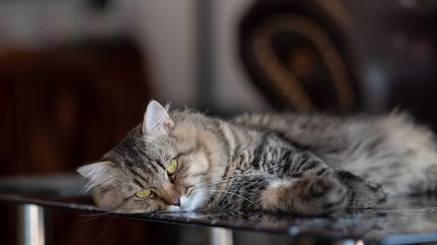 Gato preguiçoso deitado no vidro da mesa e olhando para a câmera.