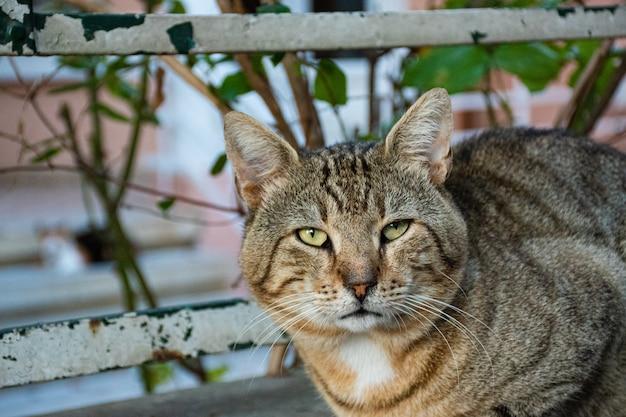 Gato preguiçoso, ruivo e cinzento está deitado na rua