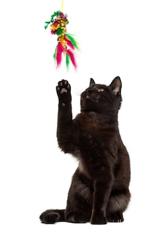 Gato preto brincando em frente a uma parede branca