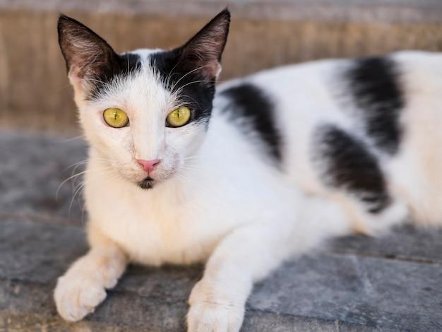 Gato preto e branco de rua com olhos amarelos, olhando para a câmera