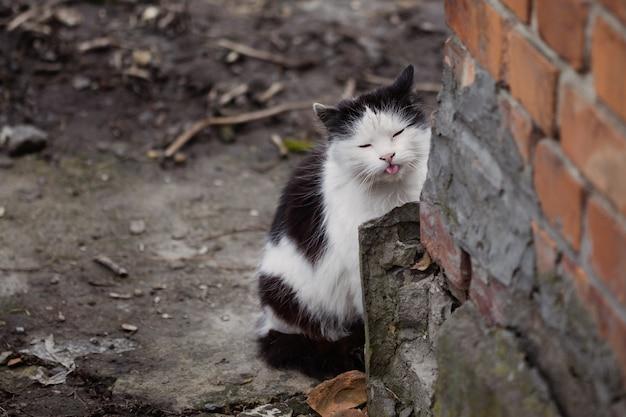 Gato preto e branco mostra a língua