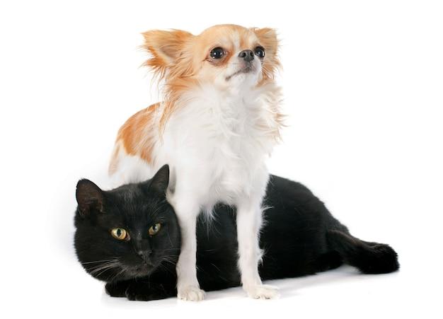 Gato preto e chihuahua