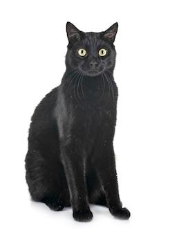 Gato preto em estúdio