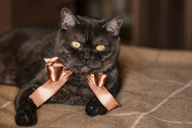 Gato preto escocês em linha reta com olhos amarelos, usando laço marrom no pescoço, deita na cama