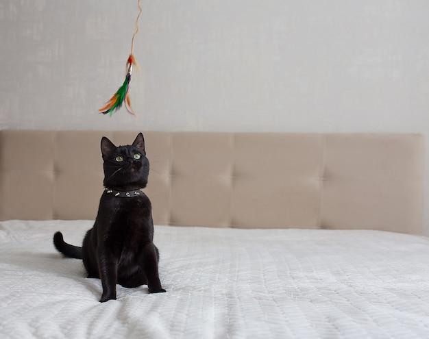 Gato preto está sentado em um sofá bege e brincando
