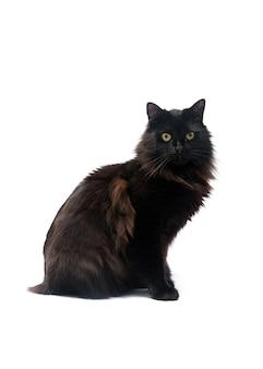 Gato preto isolado no fundo branco. traçado de recorte.