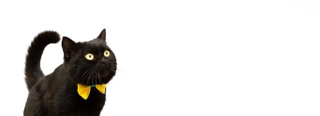 Gato preto usando faixa dourada com espaço de cópia isolada