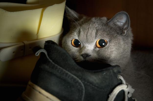 Gato puro-sangue assustado se escondeu no guarda-roupa entre os sapatos