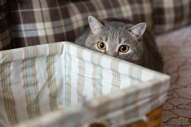 Gato puro-sangue britânico escondeu-se atrás de uma cesta. olhar de predador de gato