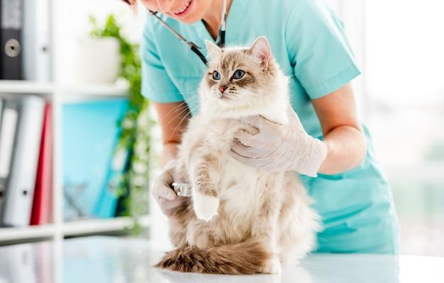Gato ragdoll na clínica veterinária