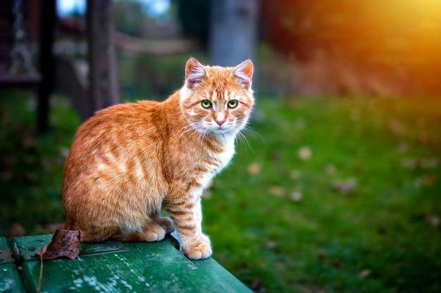 Gato readhead sentado