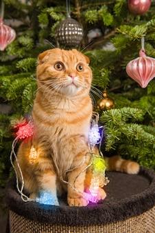 Gato red scottish fold sentado perto da árvore de natal, iluminado
