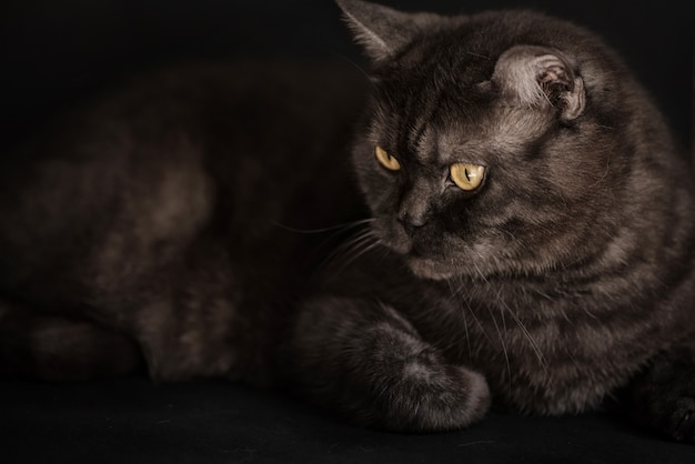 Gato reto escocês de gato malhado preto com olhos amarelos