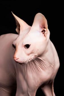 Gato rosa sphynx