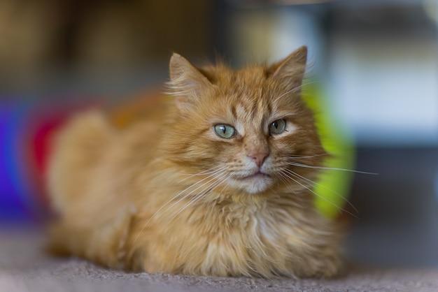 Gato ruivo fofo deitado no chão de madeira em seu perfil.