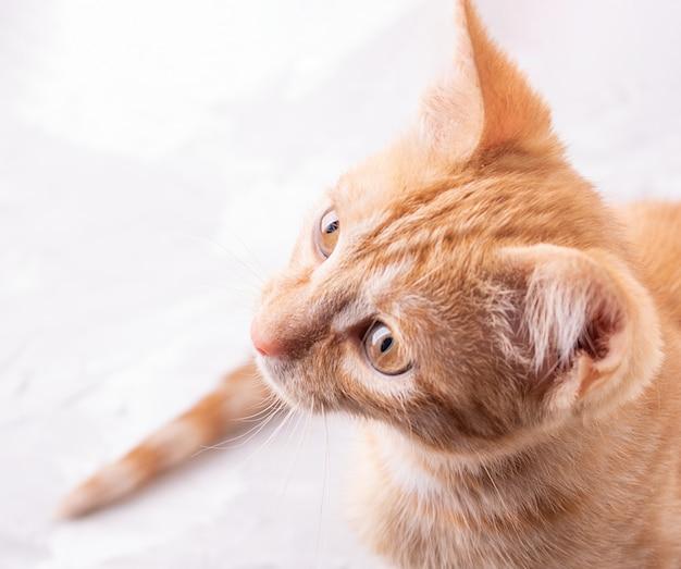 Gato ruivo, olhando para cima, copie o espaço