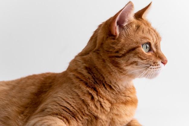 Gato ruivo, olhando para longe, pensativo