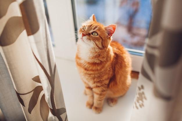 Gato ruivo sentado no peitoril da janela em casa pela manhã. animal de estimação desfrutando de sol.