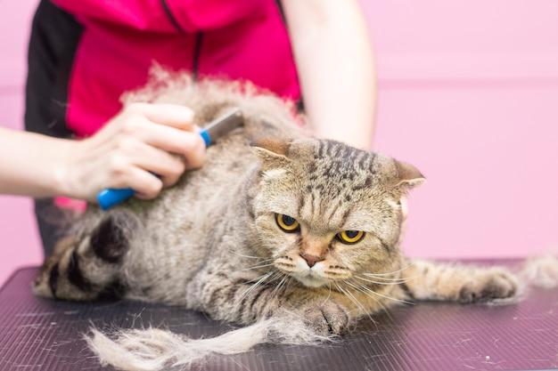 Gato satisfeito no salão de beleza. preparando os gatos em um salão de beleza para animais de estimação. o mestre penteia o excesso de pêlos. express molt