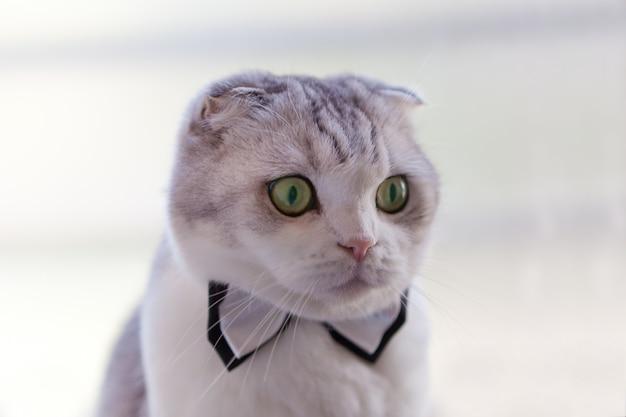 Gato scottish fold com gravata borboleta olhando para cima enquanto cavalheiro em um fundo branco