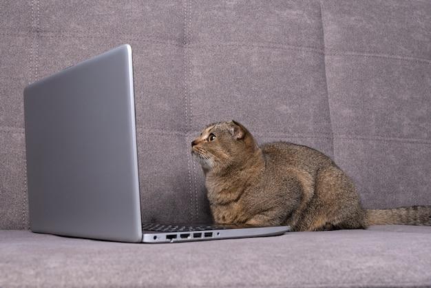 Gato scottish fold com laptop no sofá.