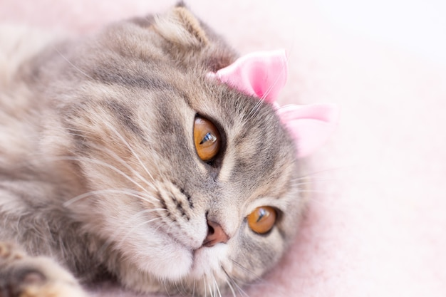Gato scottish fold com um retrato em arco rosa