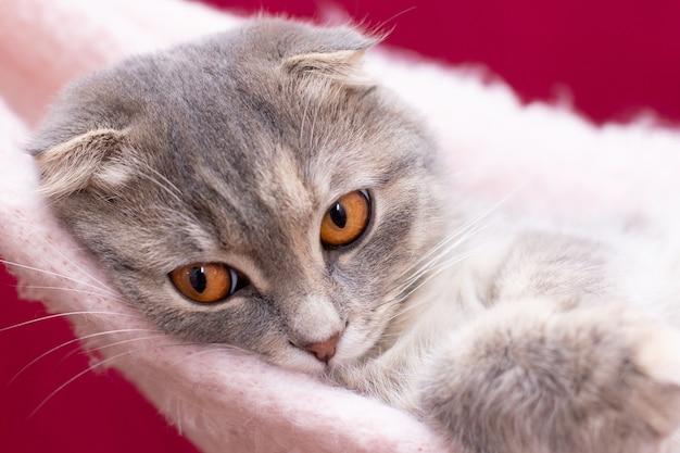 Gato scottish fold deitado de costas